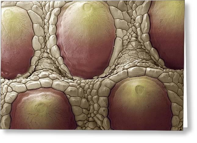Komodo Dragon Skin, Sem Greeting Card by Steve Gschmeissner