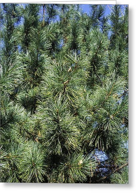 Pine Needles Greeting Cards - Korean Pine (pinus Koraiensis) Greeting Card by Dr. Nick Kurzenko