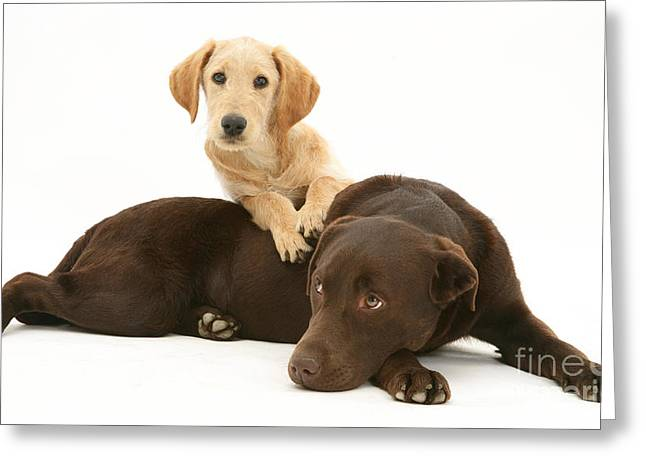 Recently Sold -  - Mixed Labrador Retriever Greeting Cards - Labradoodle And Labrador Retriever Greeting Card by Jane Burton