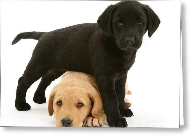 Yellow Dog Greeting Cards - Labrador Retriever Puppies Greeting Card by Jane Burton