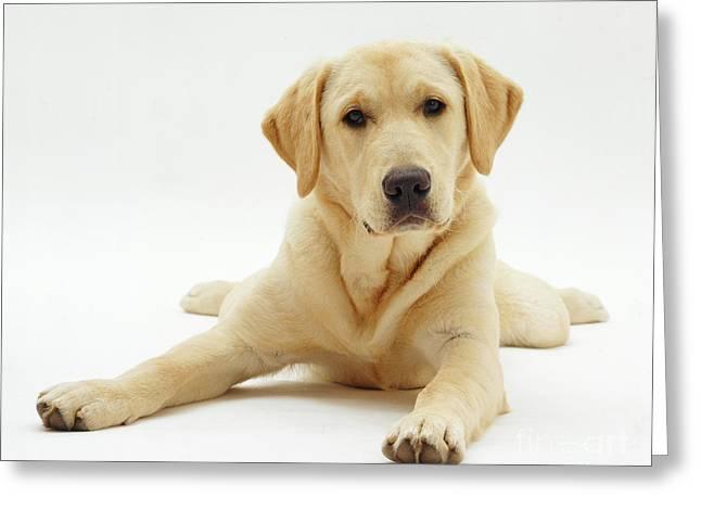 Labrador X Golden Retriever Puppy Greeting Card by Jane Burton