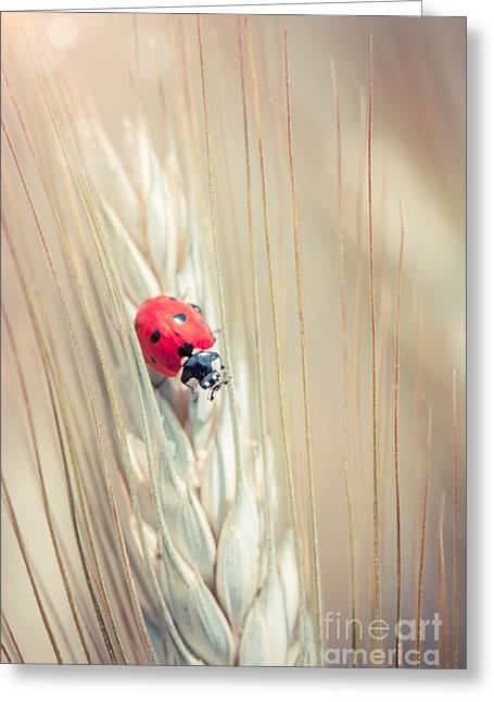 Cornfield Greeting Cards - Ladybug Greeting Card by Sabino Parente
