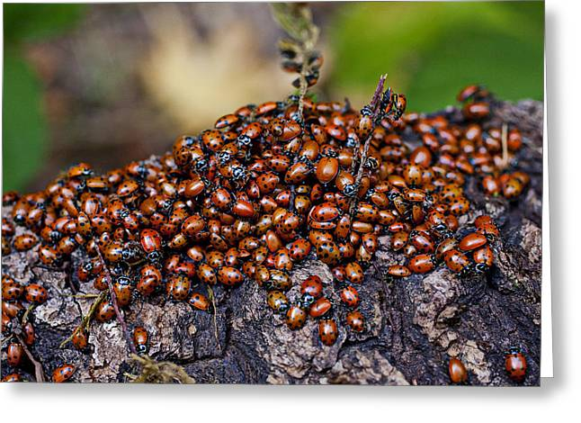Ladybugs Greeting Cards - Ladybugs on branch Greeting Card by Garry Gay