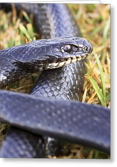 Wild Racers Greeting Cards - Large Whipsnake (coluber Jugularis) Greeting Card by Photostock-israel