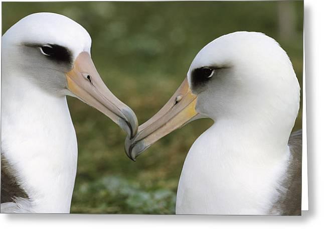 Emoting Greeting Cards - Laysan Albatross Phoebastria Greeting Card by Tui De Roy