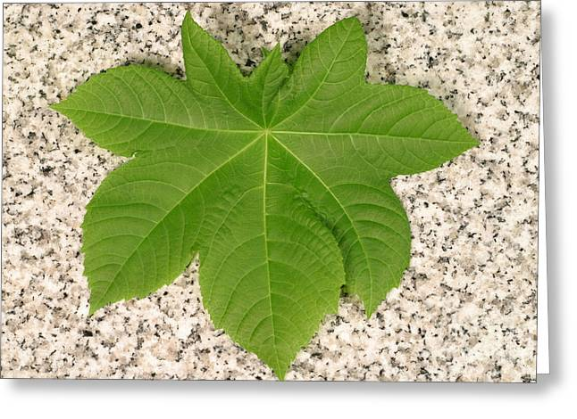 Green Beans Greeting Cards - Leaf Of Castor Bean Plant Greeting Card by Ted Kinsman