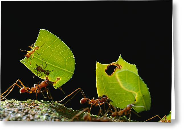 Atta Greeting Cards - Leafcutter Ant Atta Cephalotes Workers Greeting Card by Mark Moffett