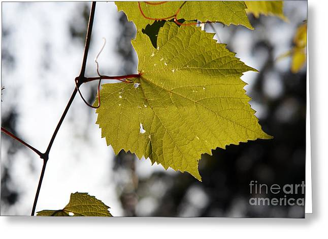 Grapevines Greeting Cards - Leaves Of Wine Grape Greeting Card by Michal Boubin