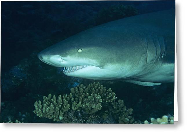 Ocean Predator Greeting Cards - Lemon Shark Greeting Card by Alexis Rosenfeld