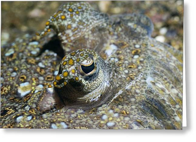 Flounder Greeting Cards - Leopard Flounder In Sand Greeting Card by Georgette Douwma