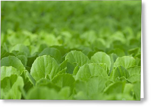 Lettuce Greeting Cards - Lettuce Crop Greeting Card by Angel Fitor