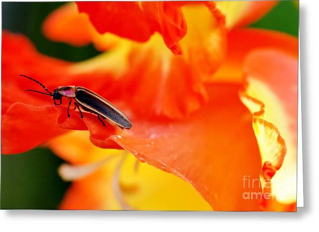 Gladiolas Greeting Cards - Lightning Bug on Gladiolus Greeting Card by Thomas R Fletcher