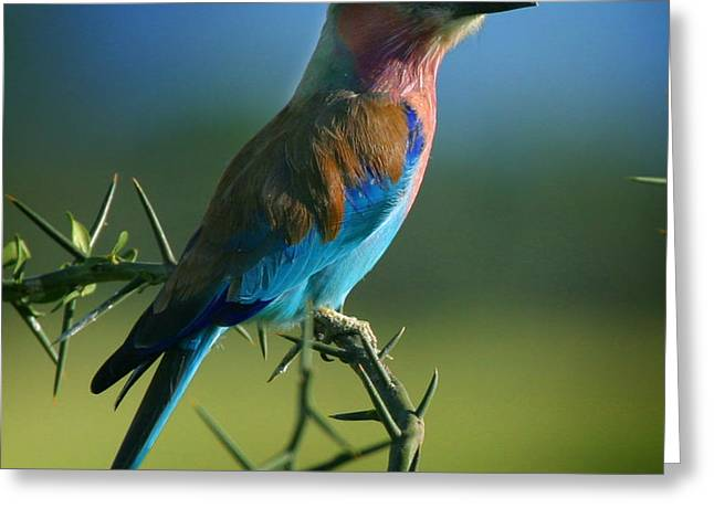 Lilac Breasted Roller Greeting Card by Joseph G Holland