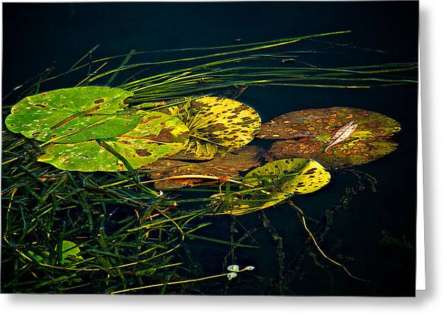 Lilly Pads Greeting Cards - Lilly pads Greeting Card by Andre Faubert