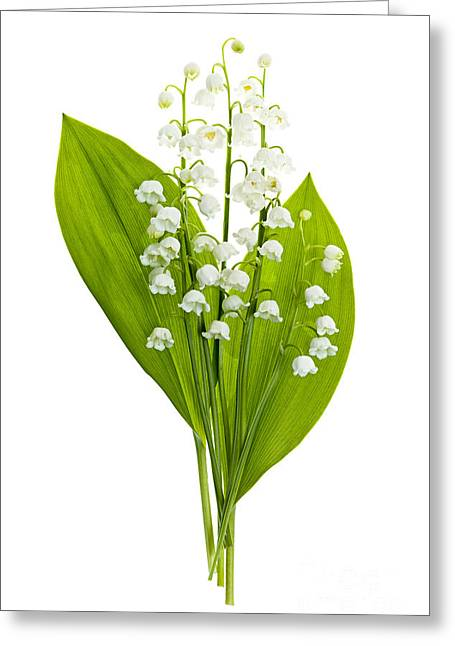 Print Photographs Greeting Cards - Lily-of-the-valley flowers Greeting Card by Elena Elisseeva