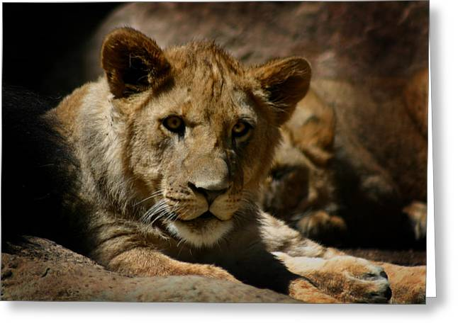 Lions Photographs Greeting Cards - Lion Cub Greeting Card by Anthony Jones