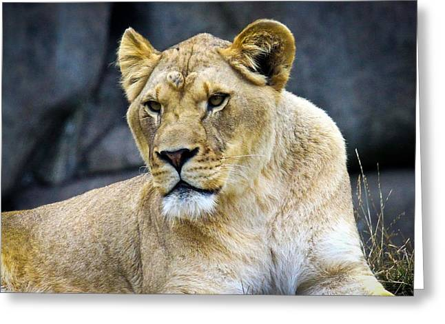 Growling Greeting Cards - Lioness Greeting Card by Steve McKinzie