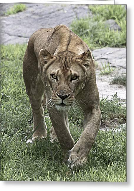 Lioness Greeting Card by Yosi Cupano