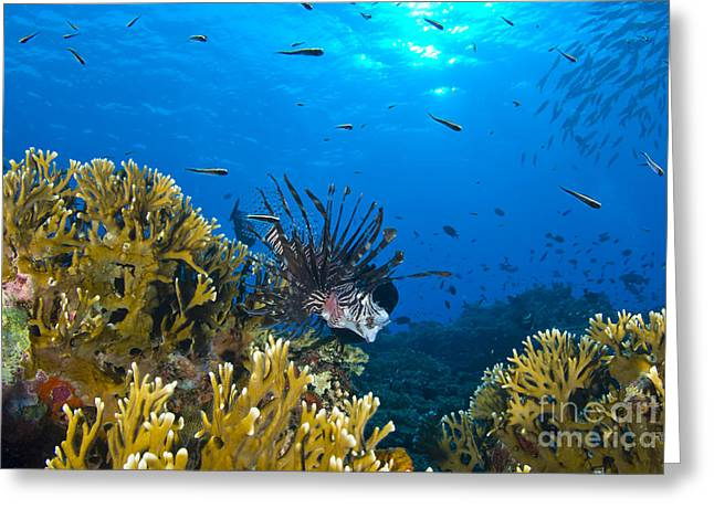 Lionfish Foraging Amongst Corals Greeting Card by Steve Jones