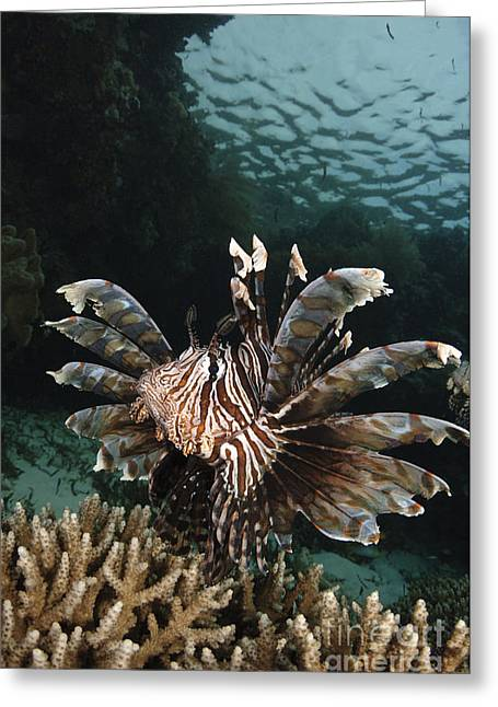 Lionfish Greeting Cards - Lionfish, Indonesia Greeting Card by Todd Winner