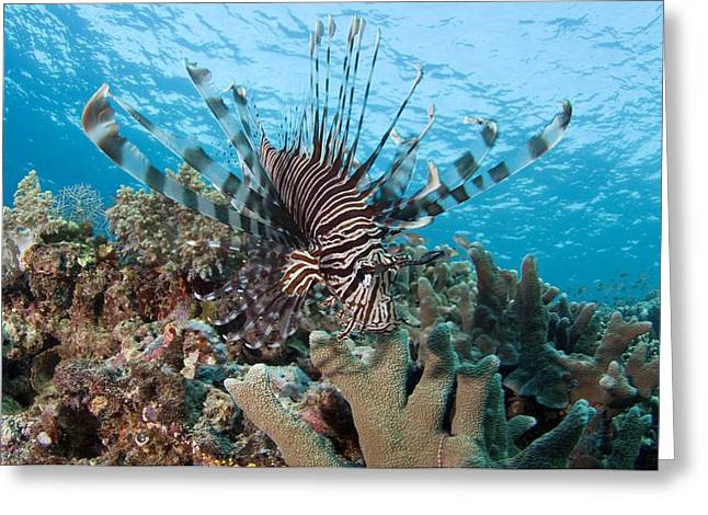 Lionfish Greeting Card by Matthew Oldfield