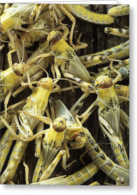 Locust Greeting Cards - Locusts Greeting Card by David Aubrey
