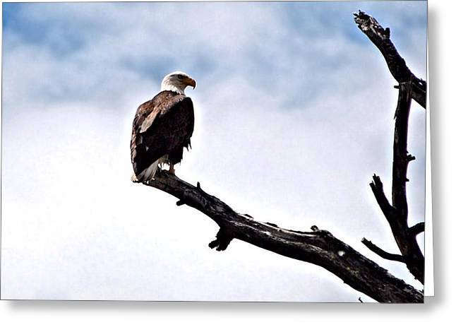 Eagles Greeting Cards - Lonely Sentenel Greeting Card by Don Mann