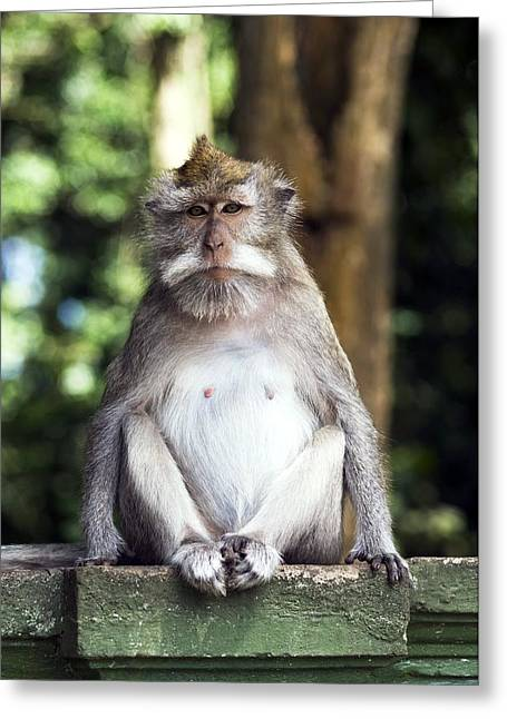 Long Tail Greeting Cards - Long-tailed Macaque Greeting Card by Georgette Douwma