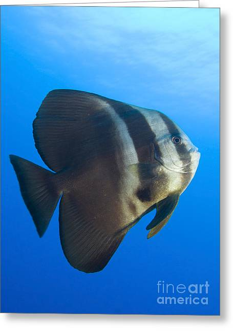 Spadefish Greeting Cards - Longfin Spadefish, Papua New Guinea Greeting Card by Steve Jones