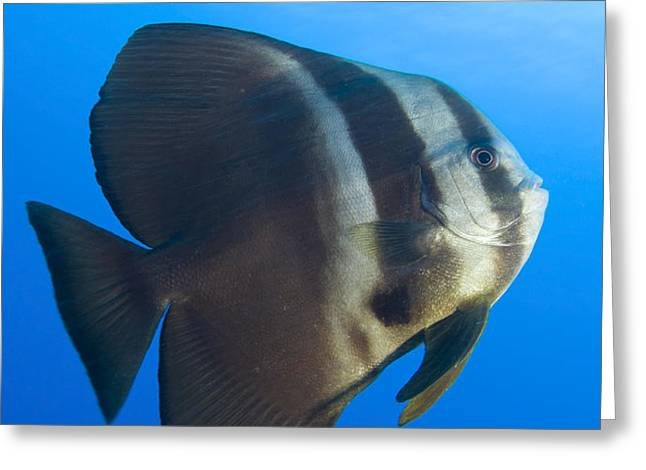 Longfin Spadefish, Papua New Guinea Greeting Card by Steve Jones