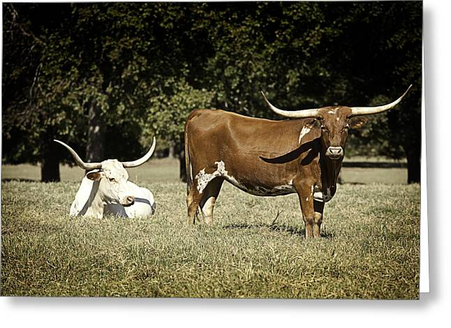 Cows Framed Prints Greeting Cards - Longhorn Cows Ressting Greeting Card by M K  Miller