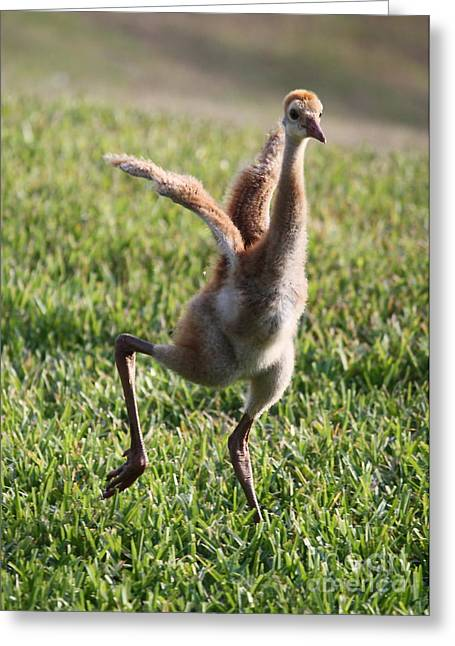 Sandhill Cranes Greeting Cards - Look at Me Greeting Card by Carol Groenen