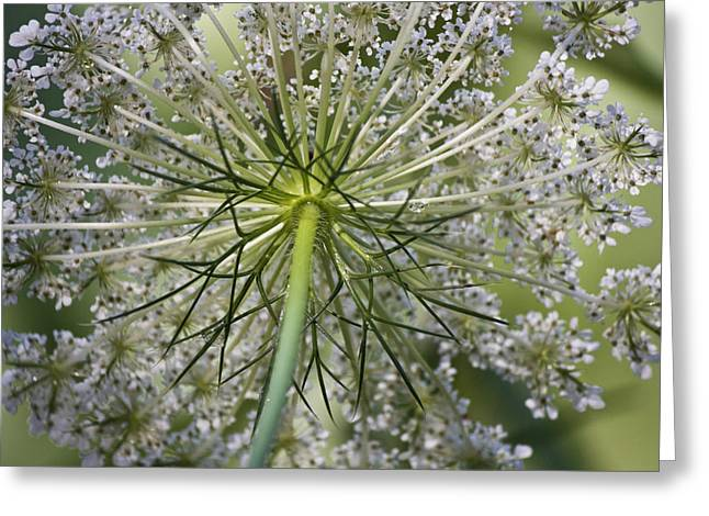 Queen Annes Lace Greeting Cards - Look Up Greeting Card by Teresa Mucha