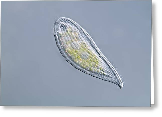 Unicellular Greeting Cards - Loxophyllum Ciliate, Light Micrograph Greeting Card by Gerd Guenther