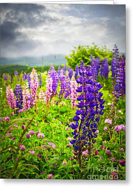 Flowering Greeting Cards - Lupins in Newfoundland meadow Greeting Card by Elena Elisseeva