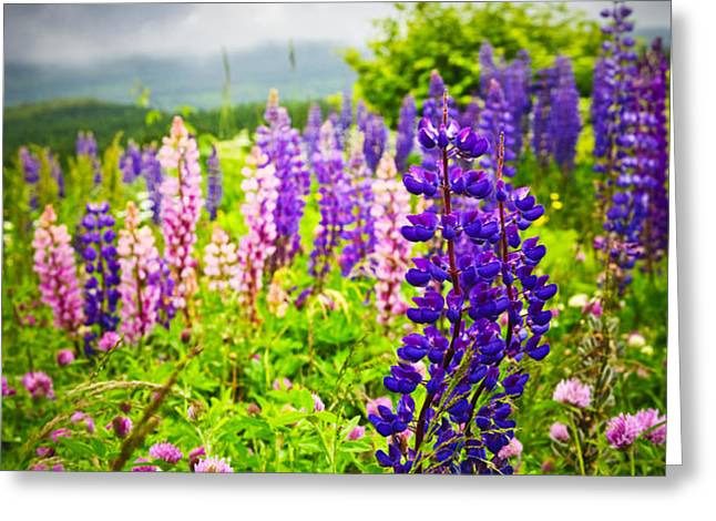 Lupins in Newfoundland meadow Greeting Card by Elena Elisseeva