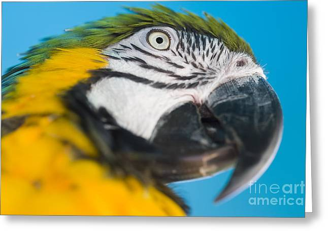 Blue Macaws Greeting Cards - Macaw Greeting Card by Juan  Silva