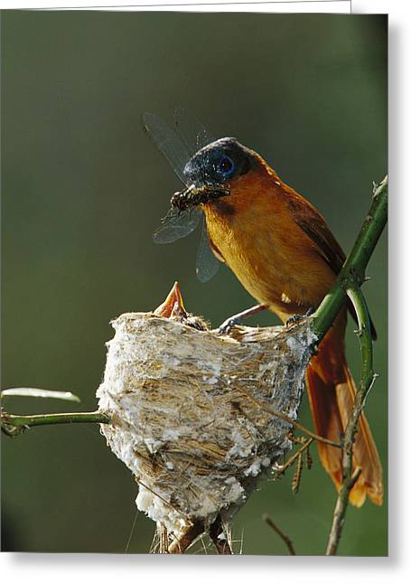 Madagascar National Park Greeting Cards - Madagascar Paradise Flycatcher Greeting Card by Cyril Ruoso