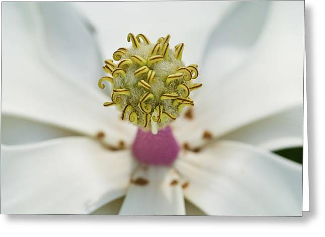 Southern Flowers Greeting Cards - Magnolia Bloom Greeting Card by Rich Franco