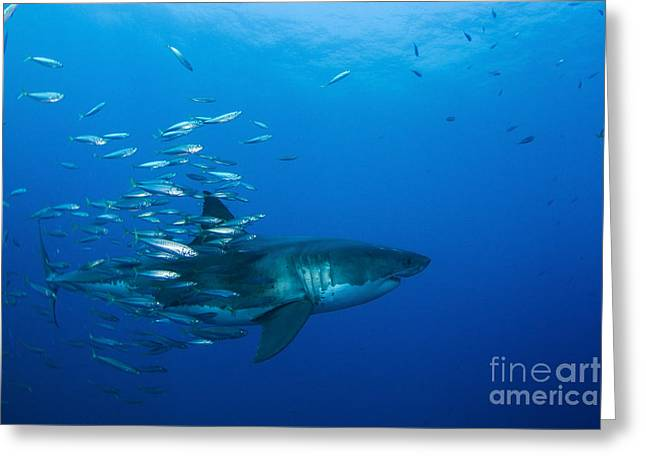 Conformity Greeting Cards - Male Great White Shark And Bait Fish Greeting Card by Todd Winner