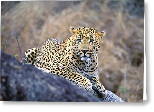 Leopard Hunting Greeting Cards - Male Leopard Greeting Card by John Pitcher