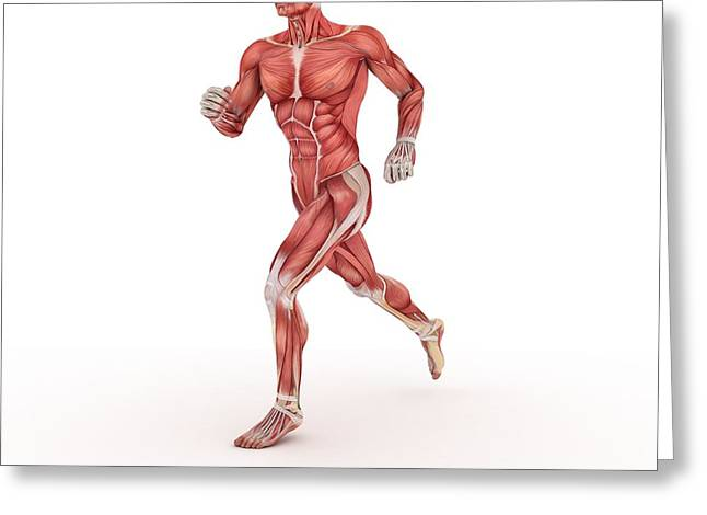 Biomedical Illustrations Greeting Cards - Male Muscles, Artwork Greeting Card by Sciepro