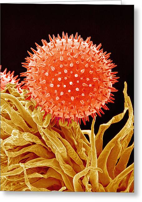 Mallow Greeting Cards - Mallow Pollen, Sem Greeting Card by Susumu Nishinaga