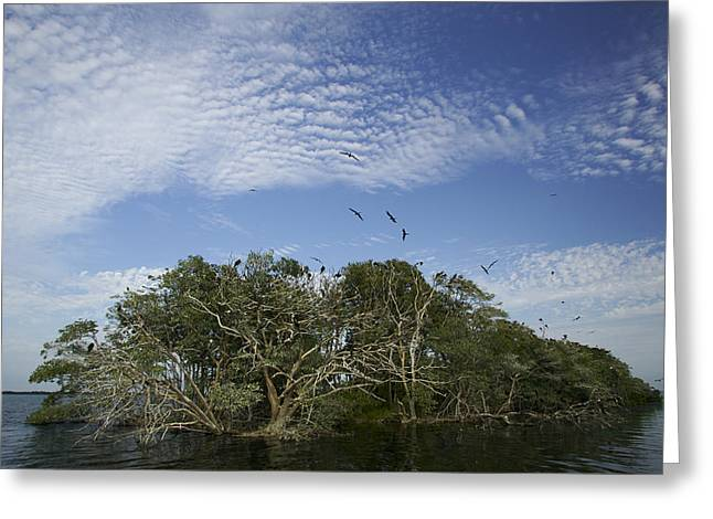 Bird On Tree Greeting Cards - Man-of-war Cay Is A Protected Mangrove Greeting Card by Tim Laman