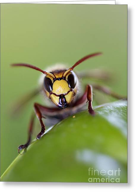 Yellow Jacket Greeting Cards - Mandibles Greeting Card by Michal Boubin