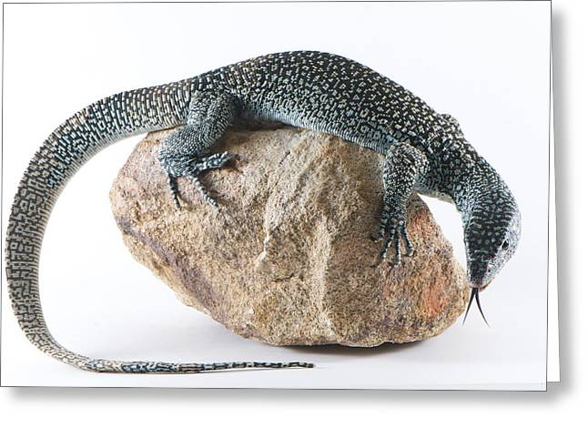 Goanna Greeting Cards - Mangrove Monitor Varanus Indicus Greeting Card by Brooke Whatnall