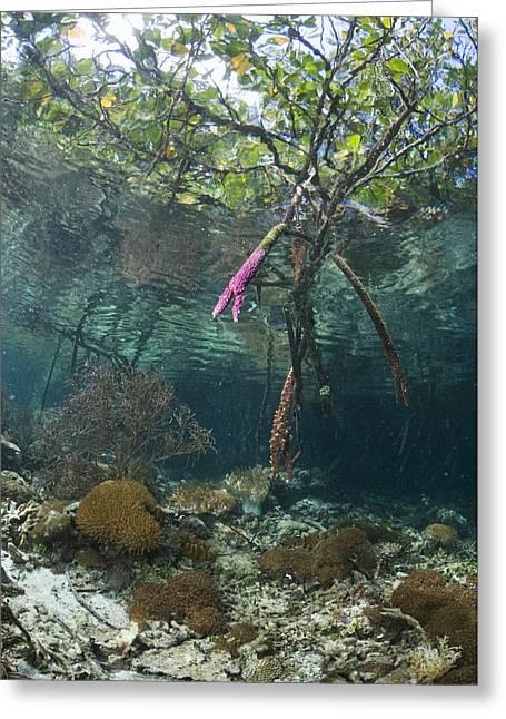 Biological Greeting Cards - Mangrove Swamp Greeting Card by Georgette Douwma