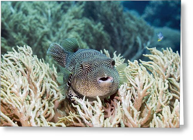 Map Pufferfish Greeting Card by Georgette Douwma