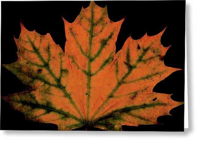 Maple Photographs Greeting Cards - Maple Leaf Greeting Card by Valencia Photography
