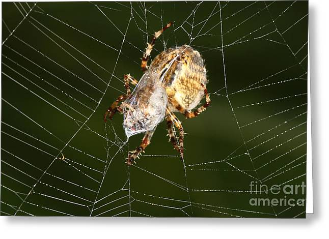 Marbled Orb Weaver Greeting Cards - Marbled Orb Weaver Spider Eating Greeting Card by Ted Kinsman
